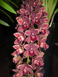 Cymbidium Dr Len 'Ruby Sunset' (68mm pot)