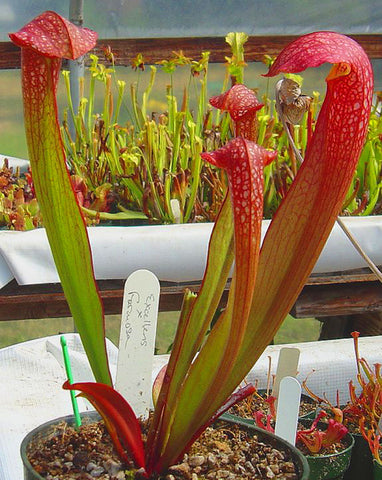 Sarracenia Excellens x Formosa Carnivorous plant 80mm garden pot plant