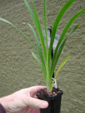 Cymbidium Nutty 'Tom Tom'  Honey intermediate  68mm pot clone