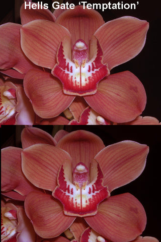 Cymbidium Hell's Gate 'Temptation'      68  mm pot