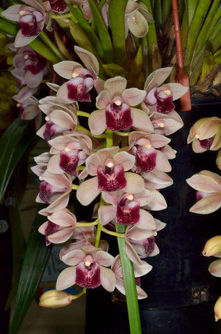 Cymbidium Mary Green 'Lipstick' 100mm Pot