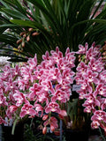 Cymbidium Little Sarah 'Lullaby' 100mm Pot
