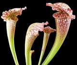 Sarracenia Mardi Gras   80 mm pots   Extra large healthy plants