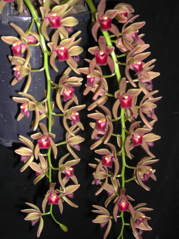 Cymbidium Miss Muffett  100mm seedlings   20 only