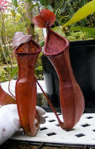 NEPENTHES ST BRICE  New  Mini seed raised 80mm pots