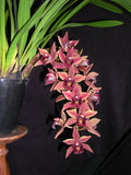 2021 Cymbidium Paradisian Surprise    'Luscious Lips' 68 mm