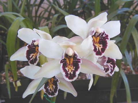 Cymbidium parishii Sanderae Species Cymbidium 68mm pots  20 only