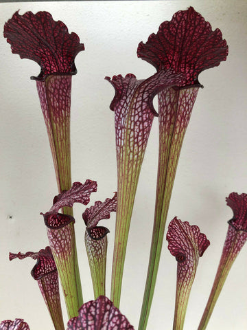 Sarracenia Leucophylla 'Red Vein x Rubra 'Rubra'in 80mm pot