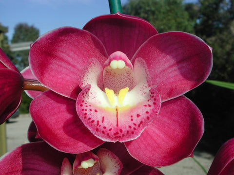 2020 stock Cymbidium Valley Olympic 'Pink Perfection'  68mm pot