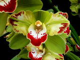 Cymbidium VIDAR HARLIQUIN  Limited to 20 plants EXTRA large 100mm  bulb and lead Pot 20 only