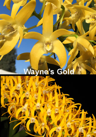 Dendrobium Wayne's Gold (Brimbank Gold x sp. Katrina) 80mm MUCH LARGER
