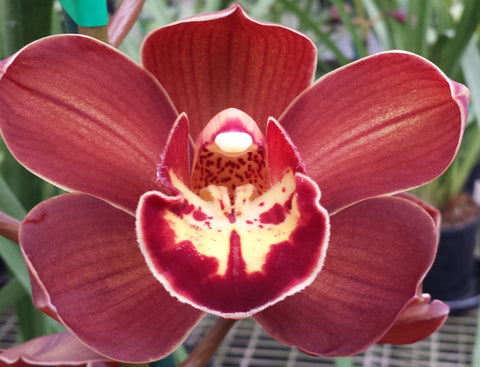Cymbidium ((Boo Boo Rowie x Val Wright) x Red Beauty) 'Shapely' 100mm Pot