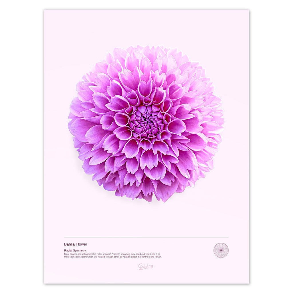 Dahlia flower print solehab solehab dahlia flower macro poster beautiful example of natures radial symmetry izmirmasajfo