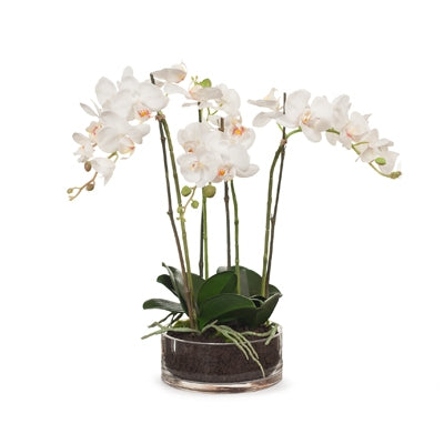 Floral Interiors Orchid Phalaenopsis in Bowl