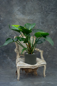 Philodendron 'Green Beauty' - limited edition!