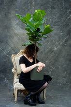 Load image into Gallery viewer, Fiddle-leaf Fig tree - limited edition!