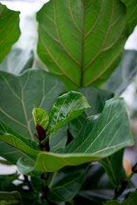 Fiddle-leaf Fig tree - limited edition!