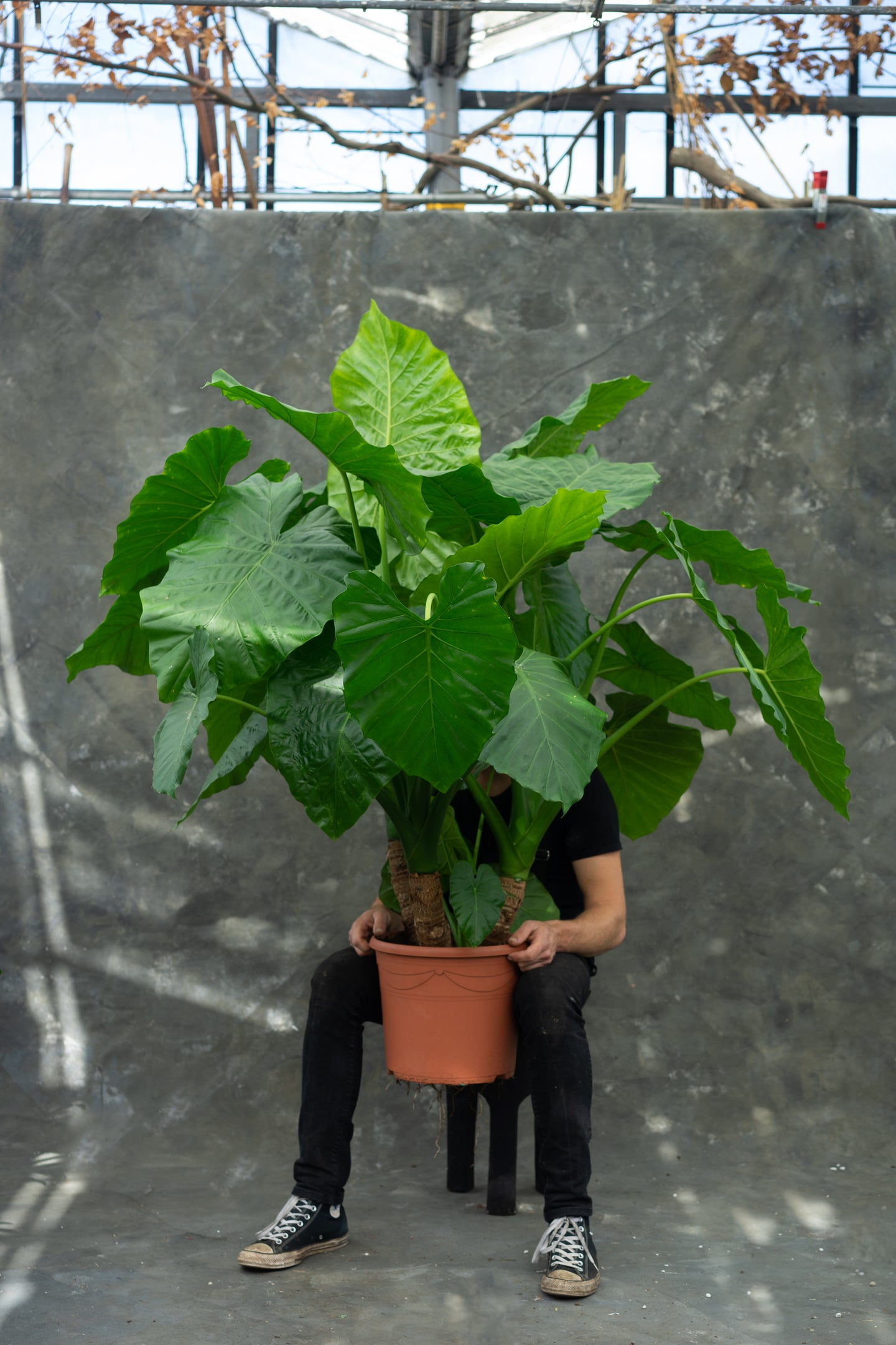 Alocasia - 'Elephant Ear' - Last 1 left!