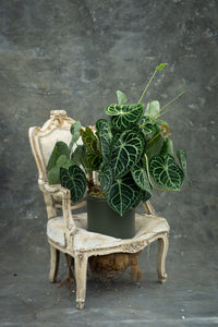 Velvet Cardboard Anthurium - Your Queen of hearts!