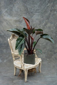 Philodendron 'Imperial Red' - two pot choices!