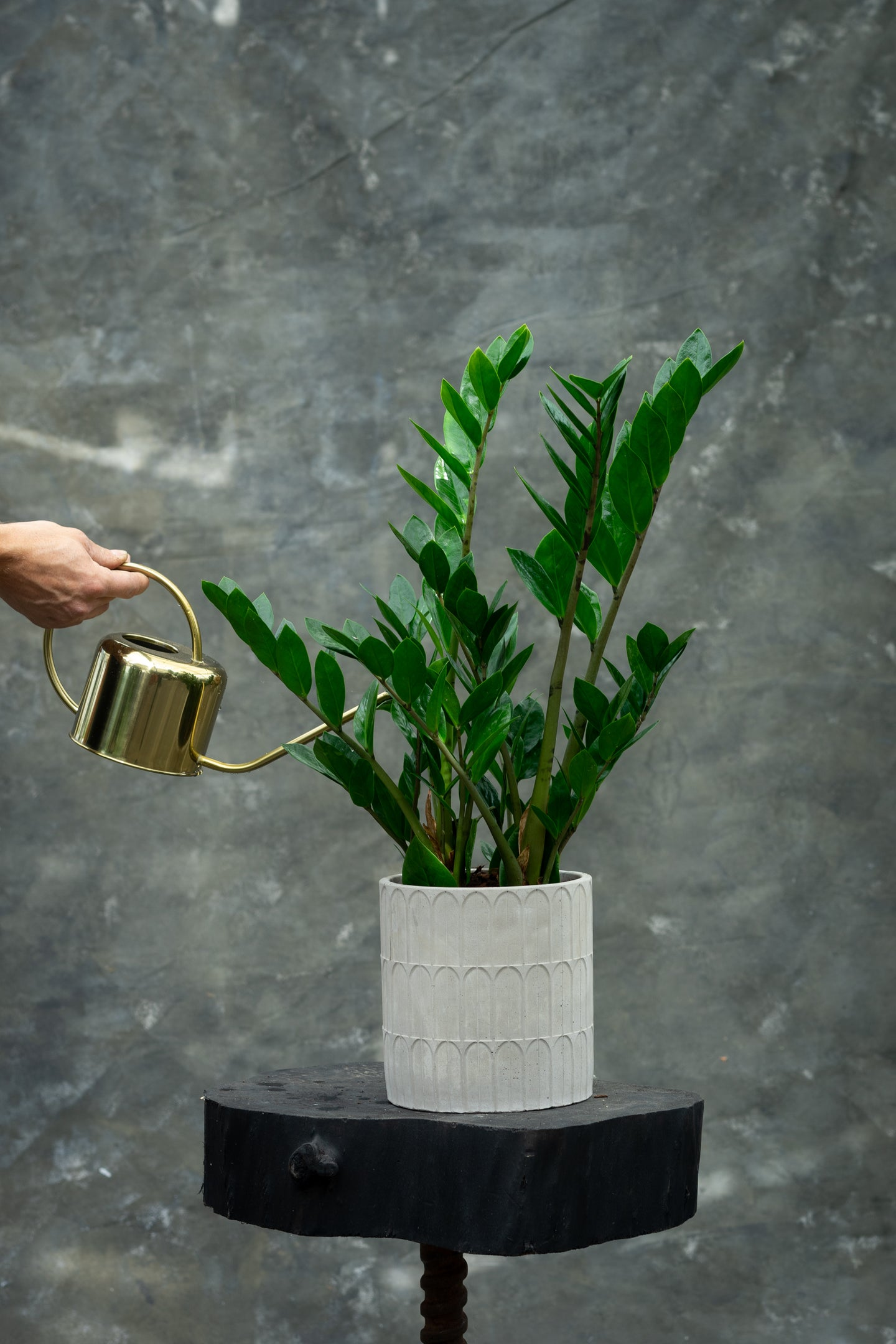 NEW! ZZ top - Zamioculcas, the tough guy