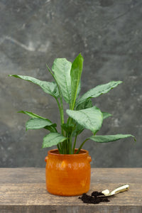 Chinese Evergreen - live your life in full colour!