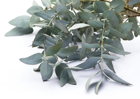 Image of several eucalyptus branches laid out on a white backdrop