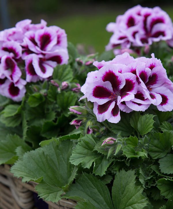 HOW NOT TO KILL YOUR PELARGONIUM