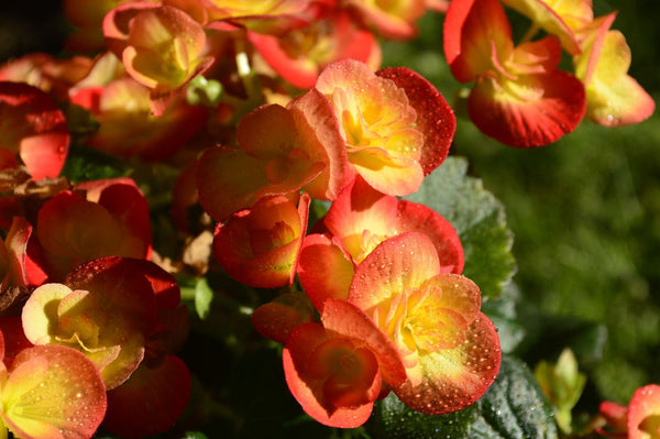 MOMENTS IN POT CULTURE: THE BEGONIA