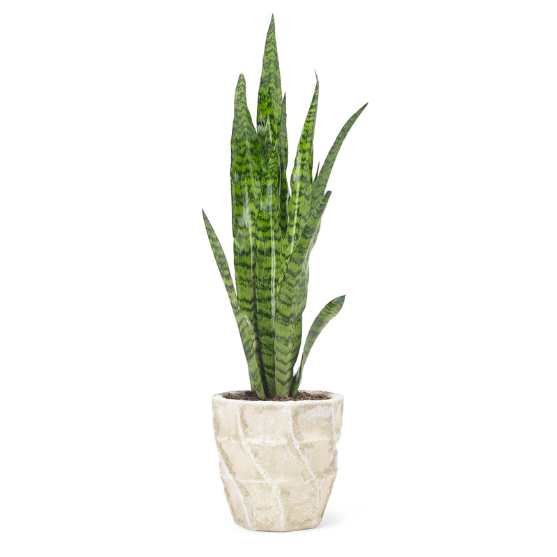 Sansevieria aka 'Mother-in-Laws Tongue'