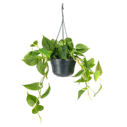 Philodendron Scandens -sizes 25cm and 40cm