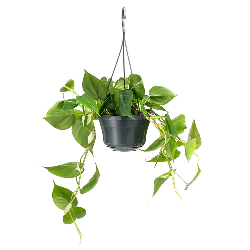 Philodendron Scandens (longer than shown in the pic!) 25cm - houseplant –  Grace & Thorn