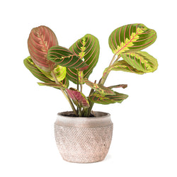 Prayer Plant (Maranta)