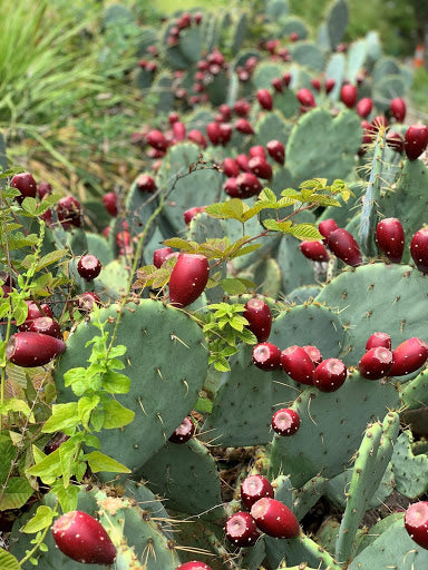 Me and the Bees - Prickly Pear season