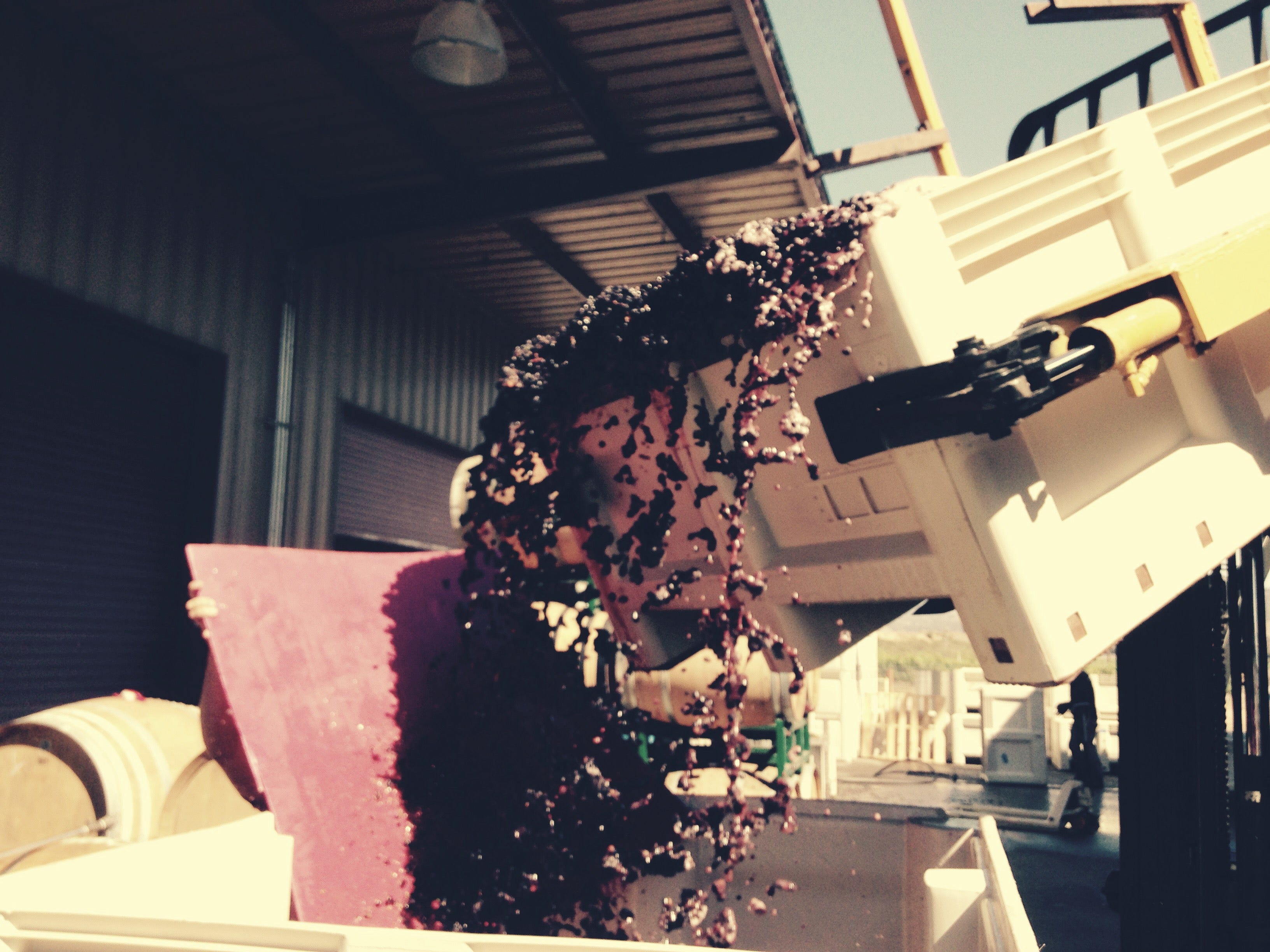 Sorting the 2015 Pinot Noir Harvest at C2 Cellars.