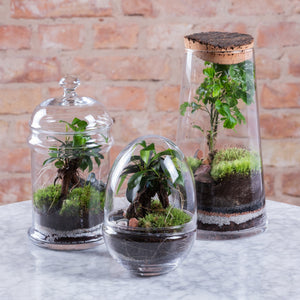 Green Factory Forest High Polyscias Terrarium