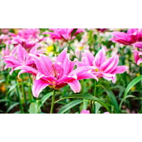 Magic Jumbo Roselily Flower Bulbs - 3, 6 or 12 Pack