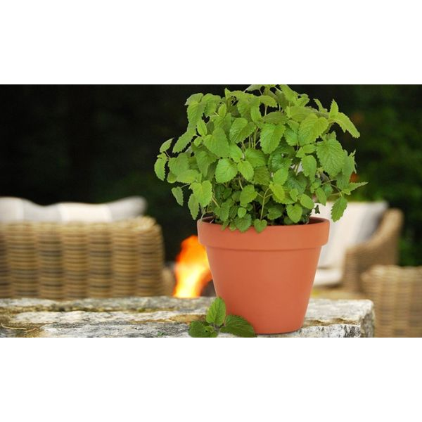 Citronella Anti-Mosquito Plants – 2 4 or 8 Pack with Shovel 4-Pack