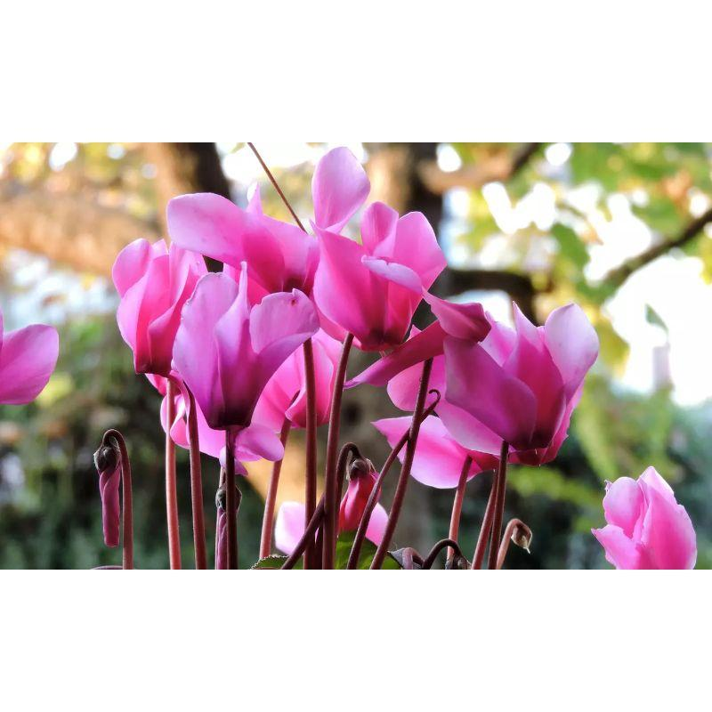 Cyclamen Coum Pink Flower Bulbs-Daily Steals