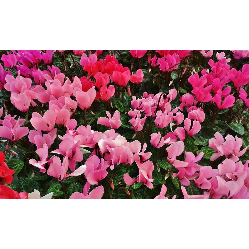 Cyclamen Coum Pink Flower Bulbs-3 Flower Bulbs-Daily Steals