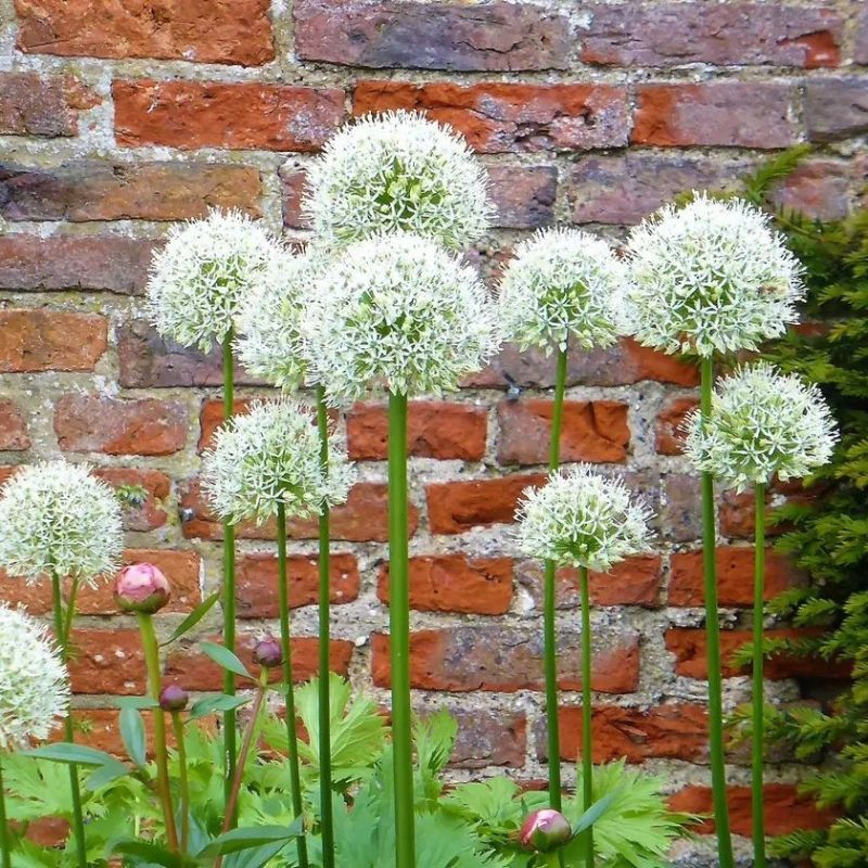 Snow White American Allium Flower Bulbs