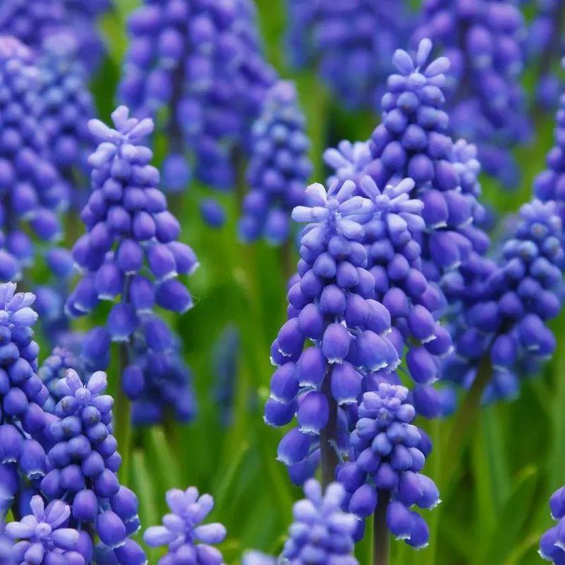 Garden Gems Flower Bulbs - Grape Hyacinths, Fritillaria meleagris, Striped Squill, Allium Moly-Daily Steals