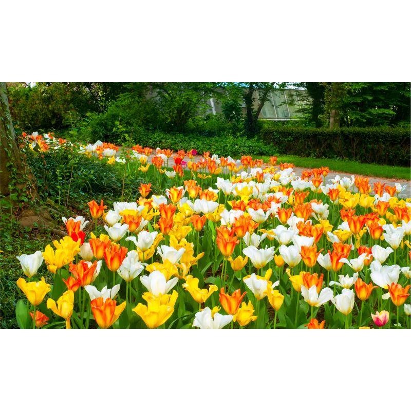 Ground Cover Yellow and Orange Tulips Flower Bulbs-Daily Steals