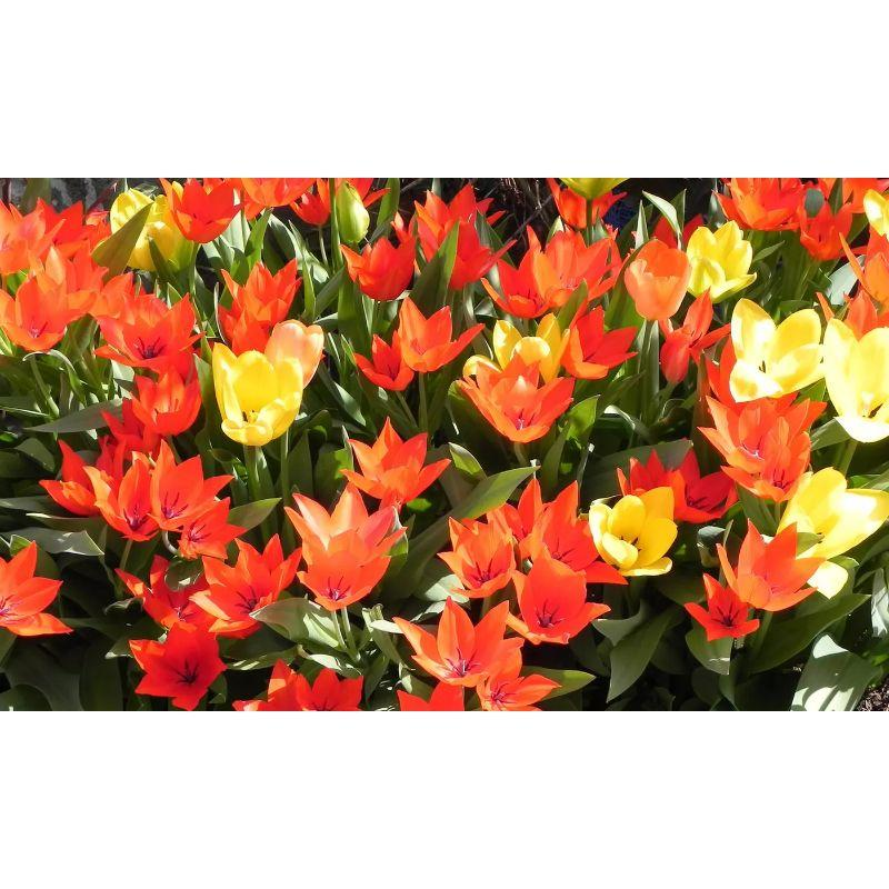 Ground Cover Yellow and Orange Tulips Flower Bulbs-12 Flower Bulbs-Daily Steals