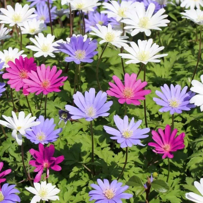 Mixed Anemone Blanda Purple White and Pink Flower Bulbs-Daily Steals