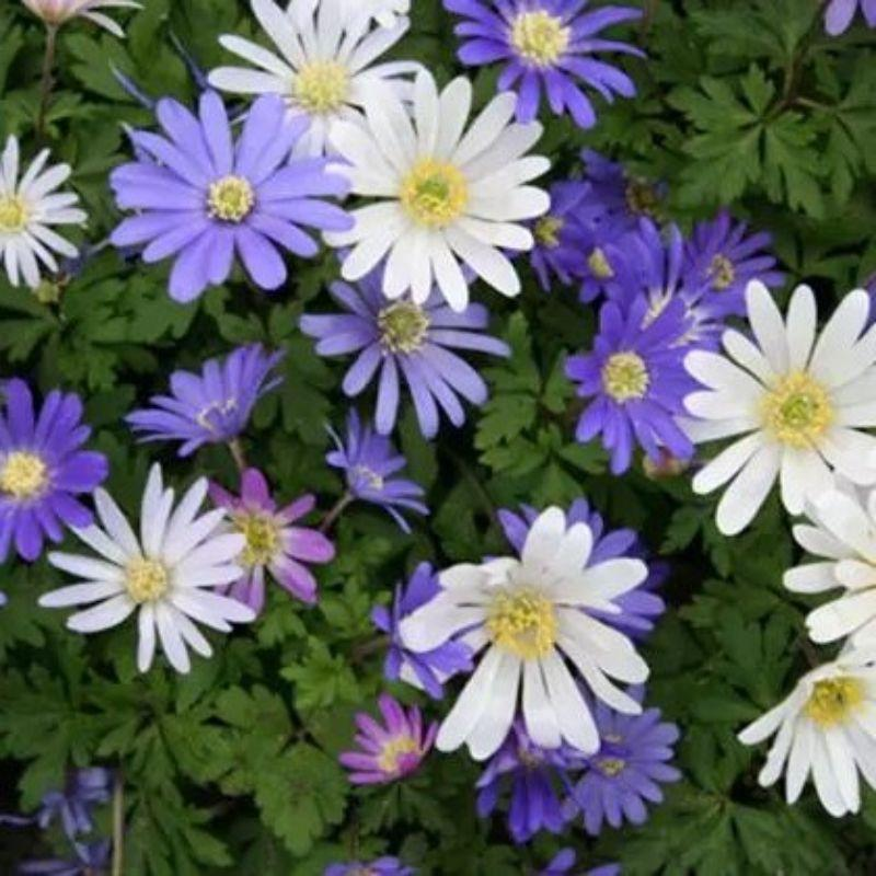 Mixed Anemone Blanda Purple White and Pink Flower Bulbs-30 Flower Bulbs-Daily Steals