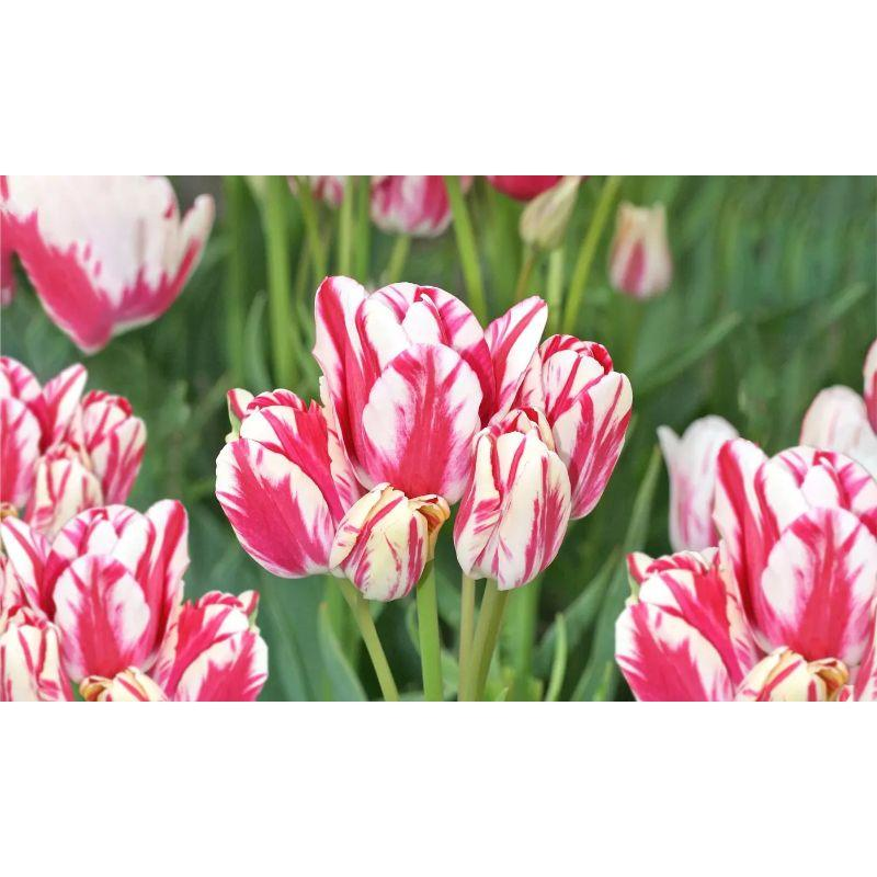 Mixed Sorbet Tulips Flower Bulbs - Yellows, Oranges, Pinks, Whites-8 Flower Bulbs-
