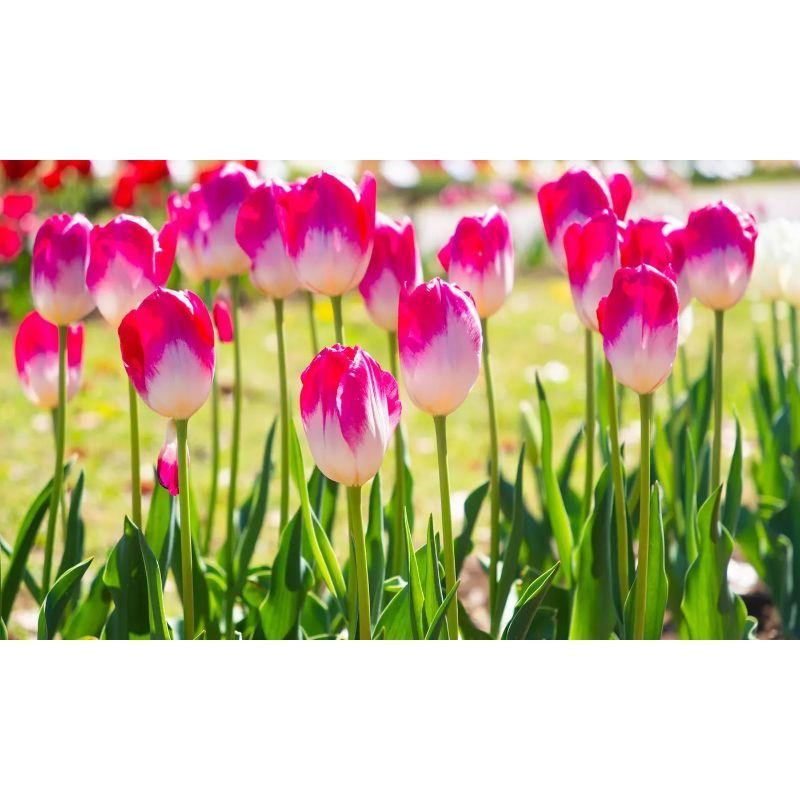 Pink Showgirl Tulip Flower Bulbs-Daily Steals