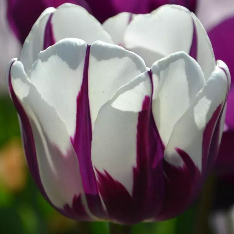 Blueberry Ripple Pink and White Tulips Flower Bulbs-Daily Steals