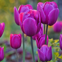 Spring Lavender Trophy Tulip Bulbs 10, 20 or 40 Pack